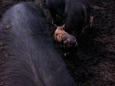 Joy Road Catering Piggies