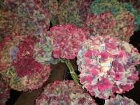 古董绣球花