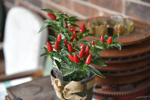 Ornamental Peppers