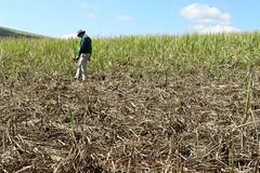 inspecting monkey damage in sugarcane