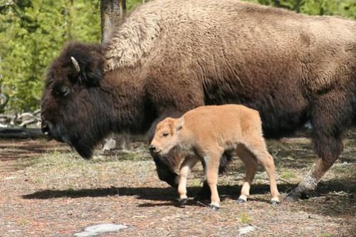 Mama and baby buffalo