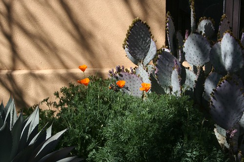 Mexican poppies in the shadows
