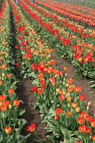 Rows and rows of colorful beauties