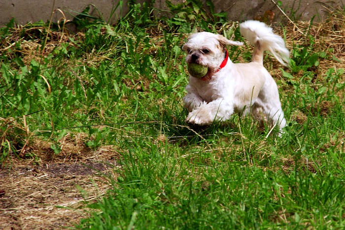 Shih Tzu in flight