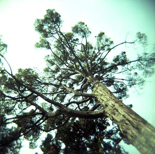 A very tall tree in the tea garden