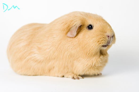 guinea pig photo shoot 20