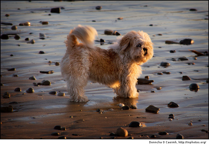 Shih Tzu on a sunset beach