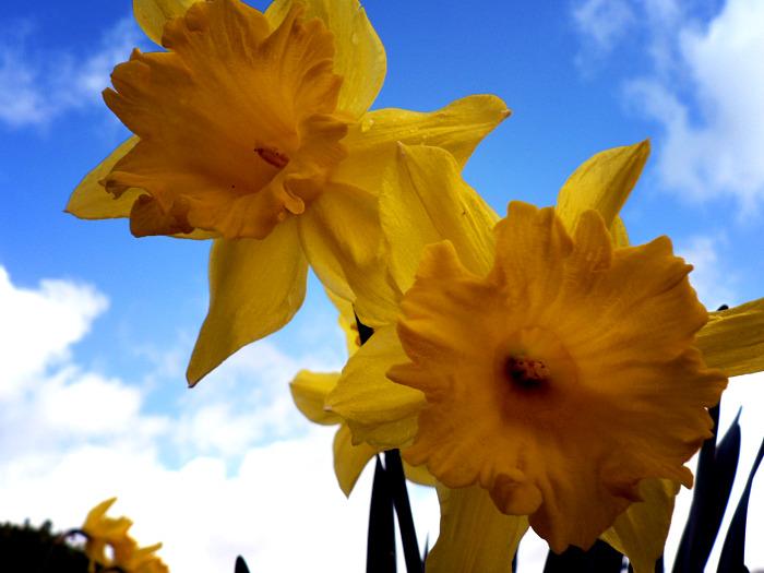 Daffodils in the sky