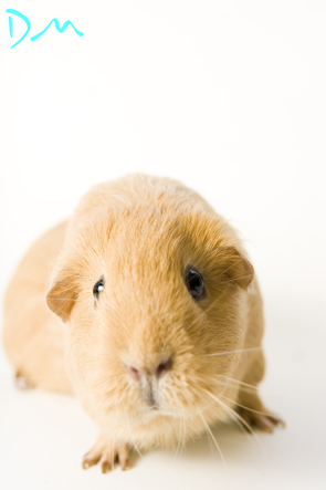 guinea pig photo shoot 16