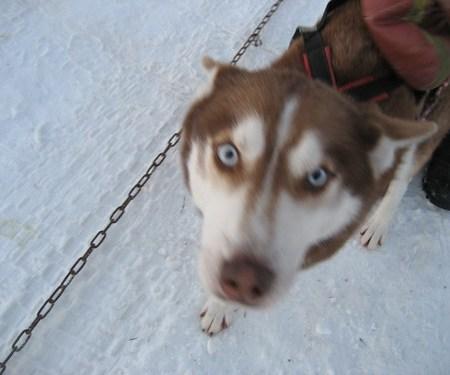 Finnland-Huskies-VB_0054