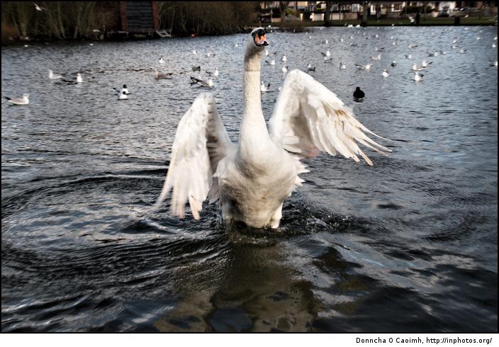The Swan's Wings