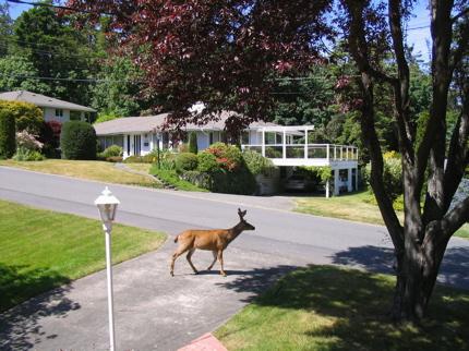 Deer in Cadboro Bay, Victoria, BC