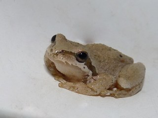 Explore #230 10-11-09 - Kitchen Frog