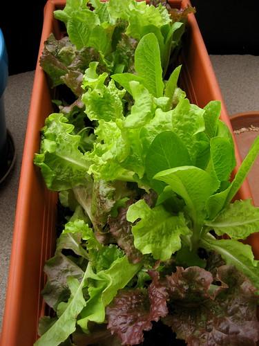 lettuce, july 18