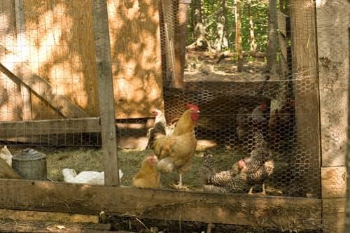Humble Garden 2009: communal chickens