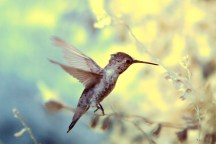 Hummingbird - Infrared