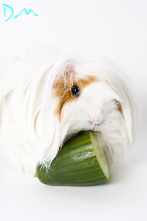 guinea pig photo shoot 09