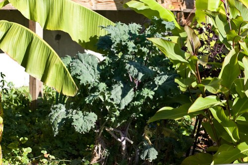 Edible Forest Gardens: hardy kale