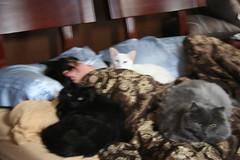 "Our three kitties, ""helping"" me sleep..."