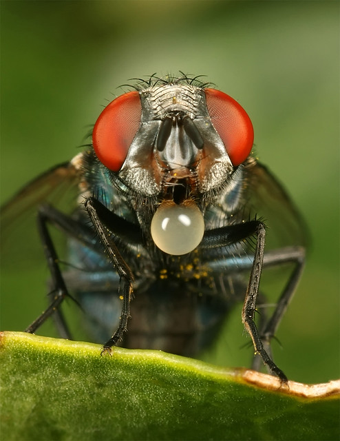 Green Bottle Fly / Keizervlieg
