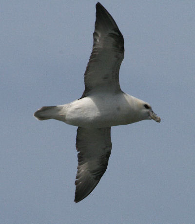 """Fulmar • <a style=""""font-size:0.8em;"""" href=""""http://www.flickr.com/photos/30837261@N07/10722983216/"""" target=""""_blank"""">View on Flickr</a>"""