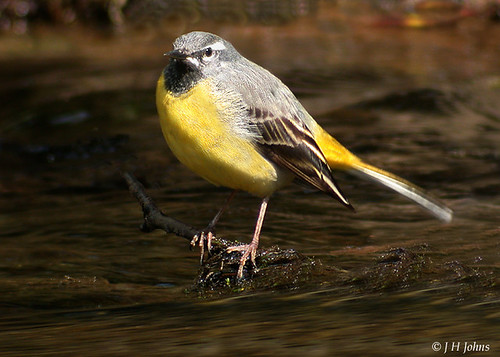 """Grey Wagtail (J H Johns) • <a style=""""font-size:0.8em;"""" href=""""http://www.flickr.com/photos/30837261@N07/10723334134/"""" target=""""_blank"""">View on Flickr</a>"""