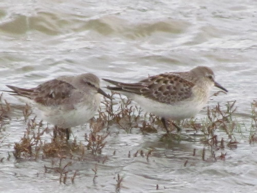 "White-rumped Sandpipers, Hayle Estuary, 021113 (P.Smale) • <a style=""font-size:0.8em;"" href=""http://www.flickr.com/photos/30837261@N07/10642408326/"" target=""_blank"">View on Flickr</a>"