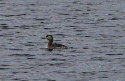 """Red-necked Grebe • <a style=""""font-size:0.8em;"""" href=""""http://www.flickr.com/photos/30837261@N07/10722978814/"""" target=""""_blank"""">View on Flickr</a>"""