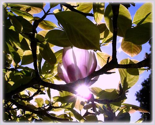 Starring .... Magnolia