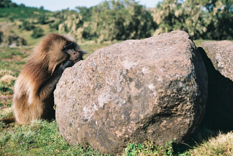 It's a hard life being a Gelada