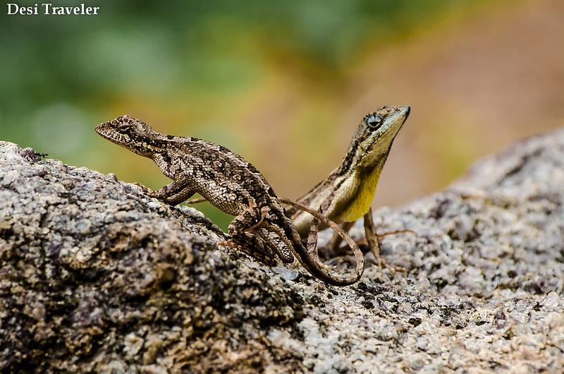 Sitana ponticeriana A pair of fan throated lizards