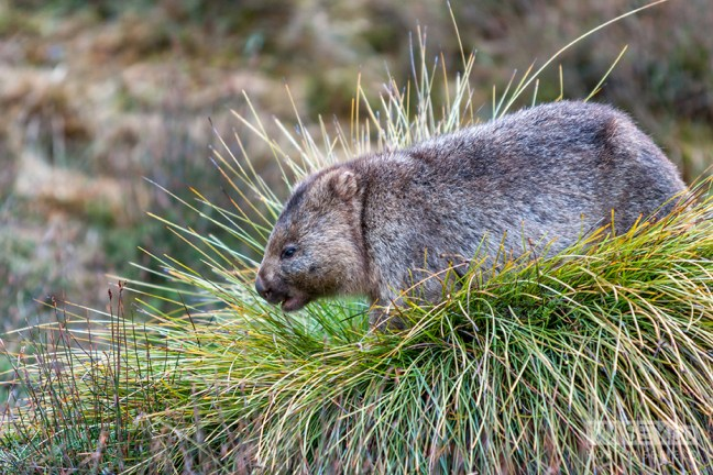 Another of 20-odd Wombats seen grazing over a couple of days.