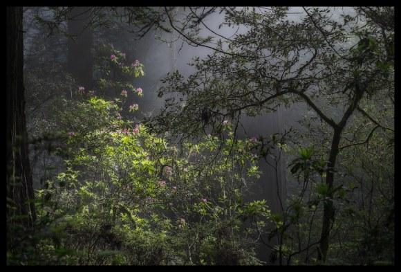 Redwood Light - Del Norte Coast Redwoods State Park - 2014