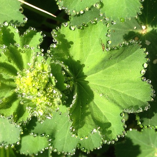Dewdrops on Lady's Mantle #dewdrops #herb