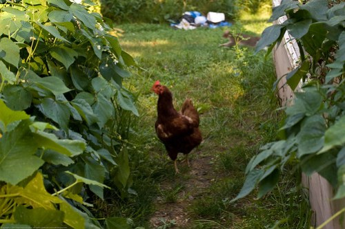 Humble Garden: chickens in the garden