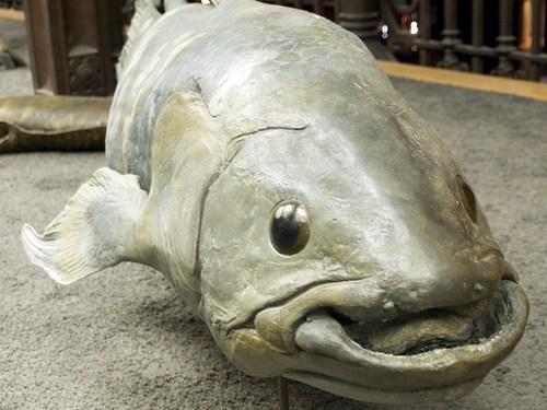 Coelacanth, up close
