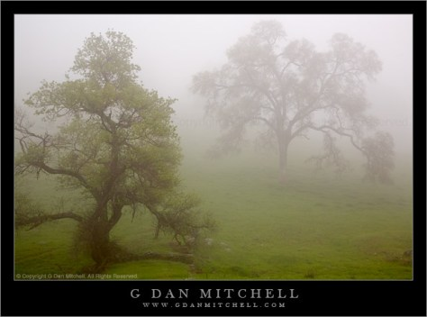 Two Spring Trees in Mist