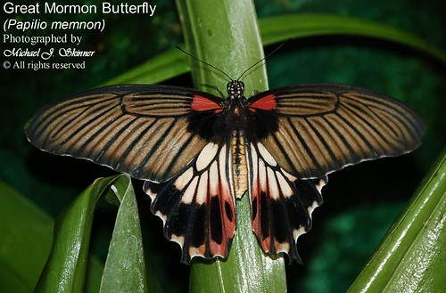 Great Mormon Butterfly (Papilio memnon)