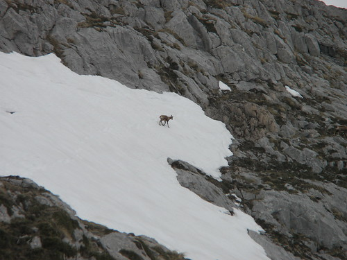 deer on a glacier against slate grey land