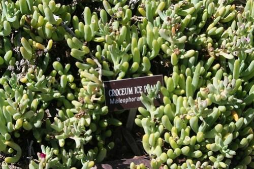 Ice plant succulent