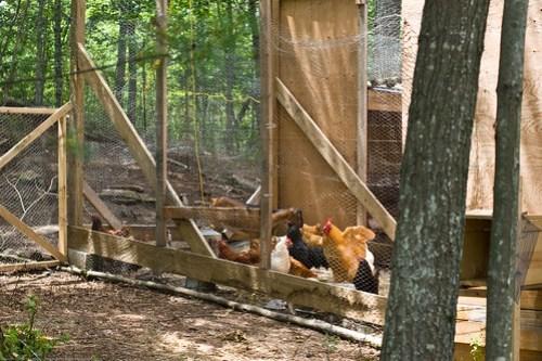 Humble Garden: Bad goatlet in the chicken pen