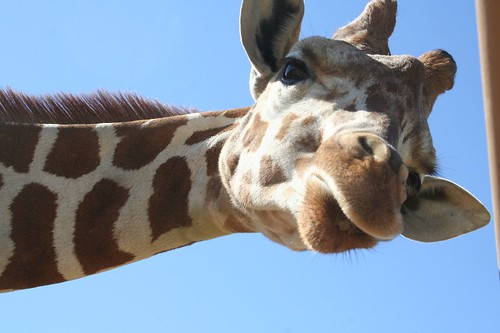 mom and the giraffes 008