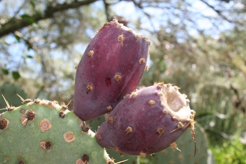 Americans just say prickly pear