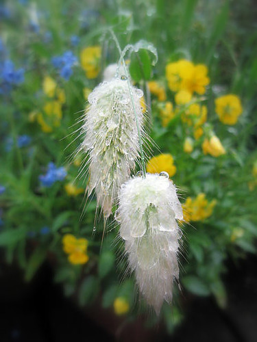 My bunnytail grass is really soaked and the little bunny tails look just like wet fur