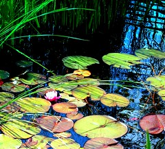 lily pads minus the croaking frog