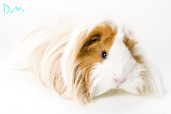 guinea pig photo shoot 04