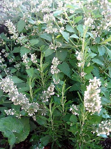 Flowering Catnip and Rosemary