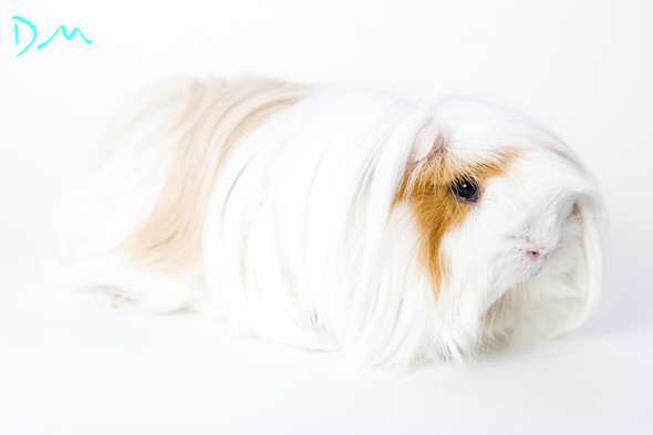 guinea pig photo shoot 07
