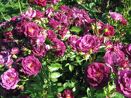This was simply labeled a shrub rose with the name of Midnight Blue. It has got to be one of the deepest purple roses I have ever seen!