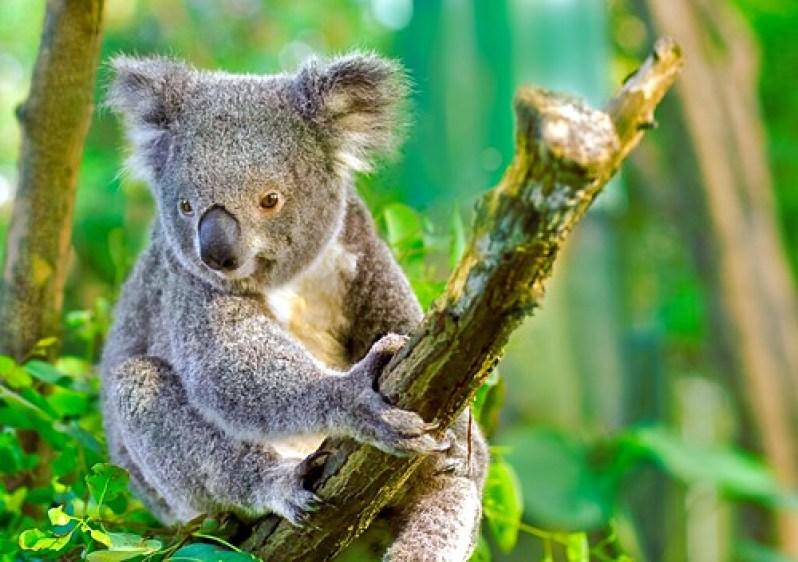 Lovely Currumbin Koala